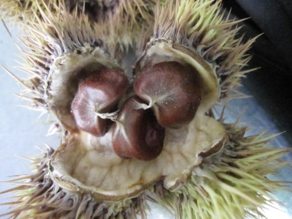 The burr opens and reveals the chestnuts inside.