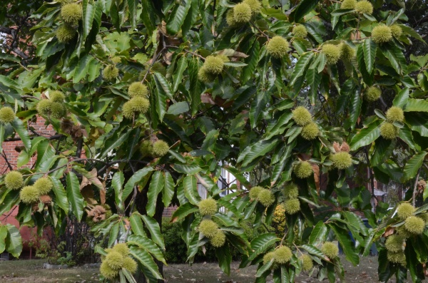 An American  chestnut tree in full bloom in autumn
