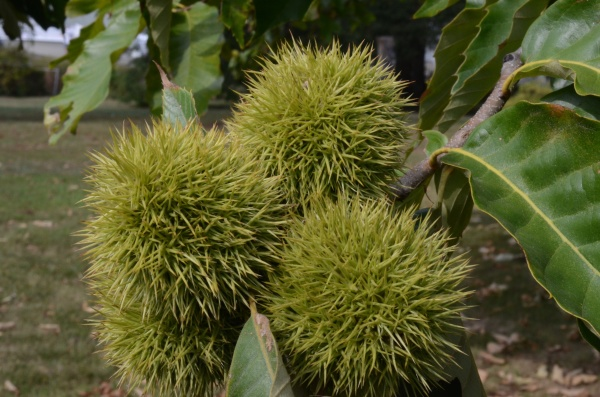A clos-up of chestnut burrs still on the branch.