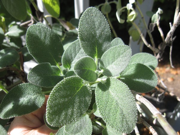 These sage leaves are growing in my garden and I find this most quintessential of Italian herbs to be very versatile in my Italian recipes.