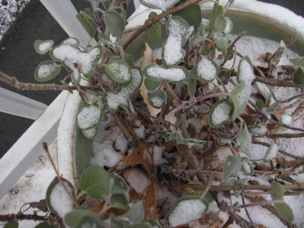 Most winters sage leaves will survive the cold and rejuvenate themselves, with a little pruning, so that they can enhance recipes and such as fried sage leaves.